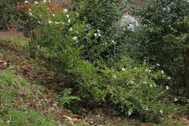 camellia-kenkyo-3