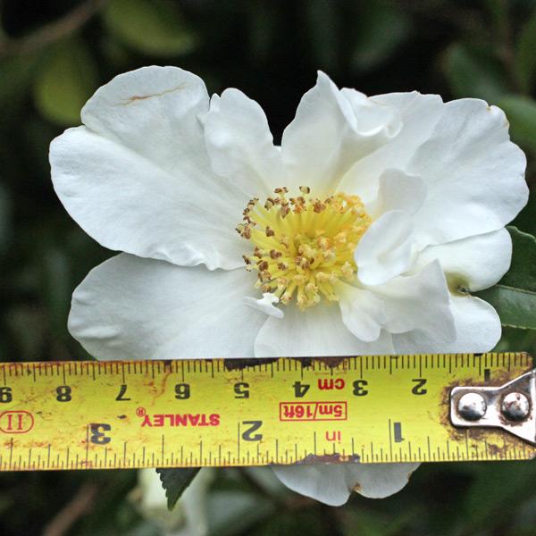 camellia-kenkyo-4