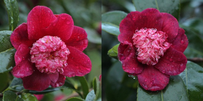 camellia-peter-betteley-2