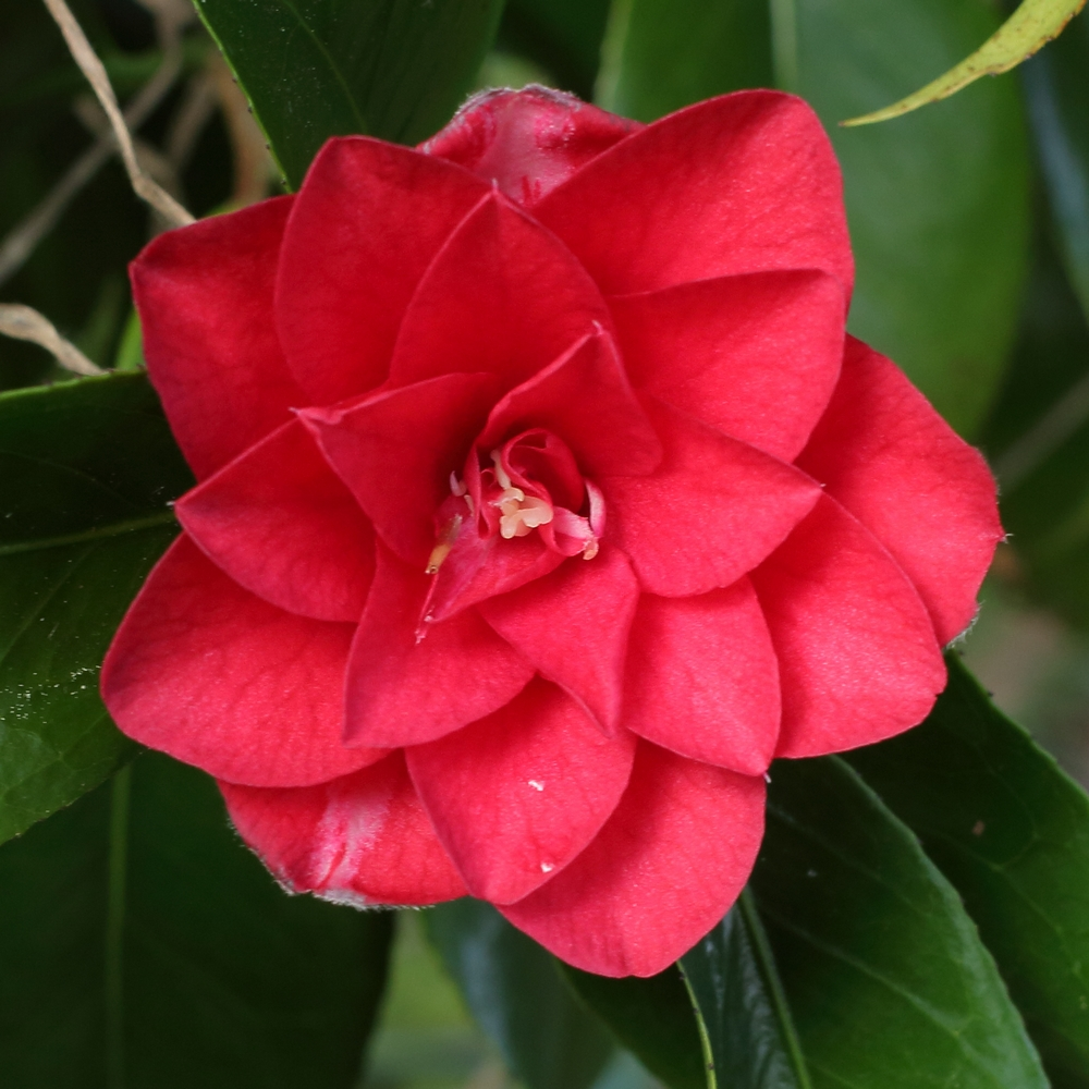 Camellia japonica 'Ace of Hearts'