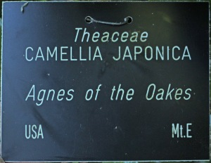 Camellia japonica 'Agnes of the Oaks'