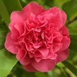 Camellia japonica 'Agnes of the Oaks'
