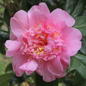Camellia x williamsii 'Anemone Frill'