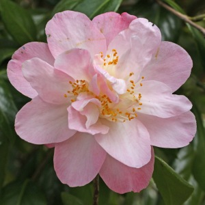 Camellia japonica 'Ann Sothern'