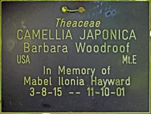 Camellia japonica 'Barbara Woodroof'