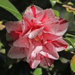 Camellia japonica 'Betty Foy Sanders'