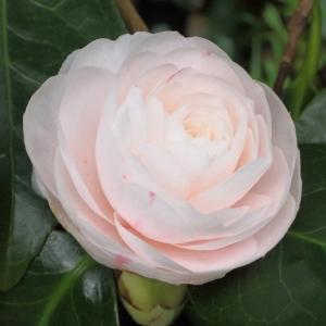 Camellia japonica 'Caleb Cope'