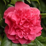 Camellia japonica 'Carolyn Tuttle'