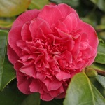 Camellia japonica 'Carolyn Tuttle'
