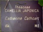 Camellia japonica 'Catherine Cathcart'