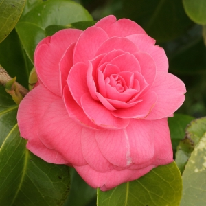 Camellia japonica 'Catherine Cathcart'