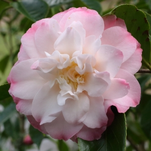 Camellia japonica 'China Doll'