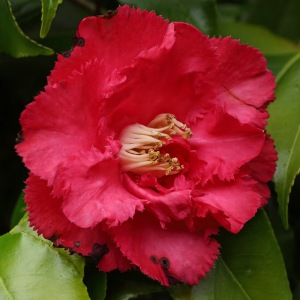 Camellia japonica 'Dainty'
