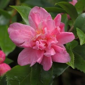 Camellia hybrid 'Fragrant Pink'