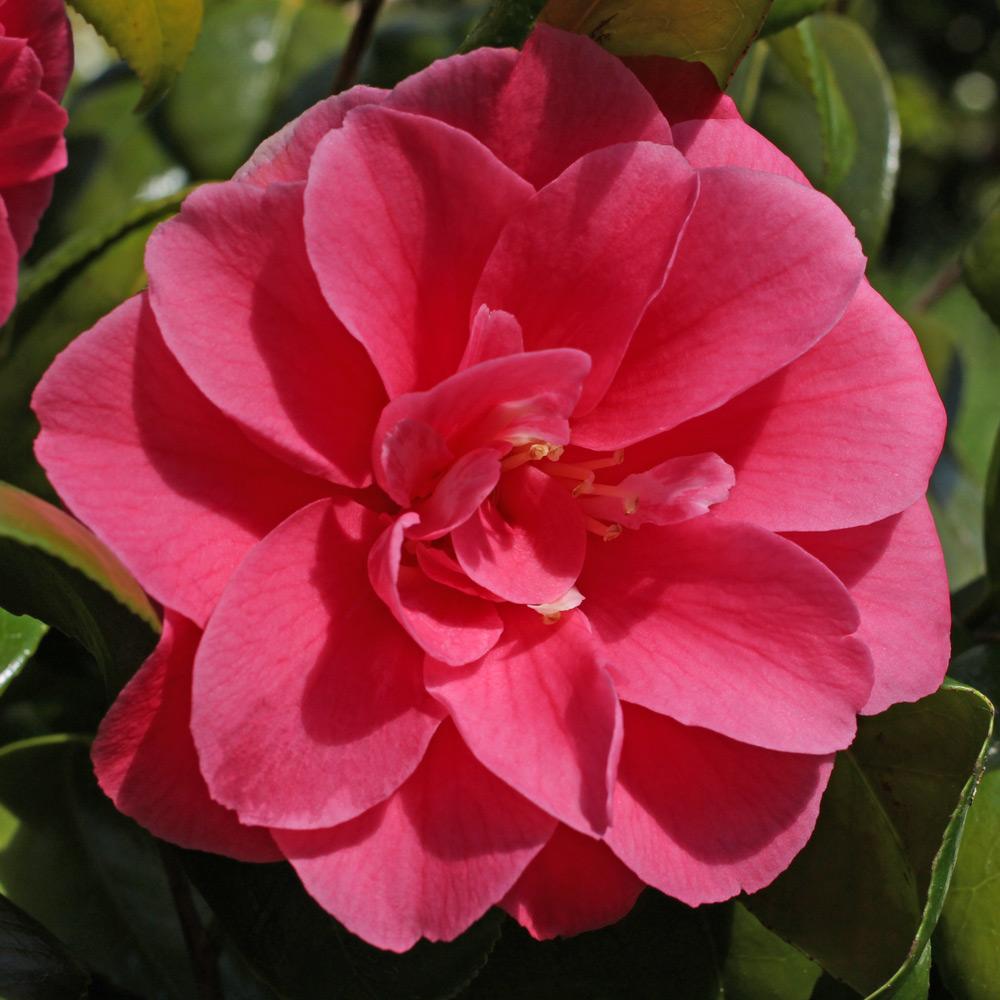 Camellia japonica 'Grandeur'
