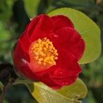 Camellia japonica 'Grape Soda'