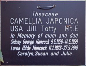 Camellia x williamsii 'Jill Totty'