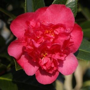 Camellia x williamsii 'Laura Boscawen'