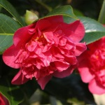Camellia x williamsii 'Laura Boscawen'