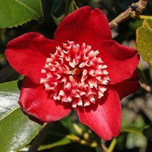 Camellia japonica 'Lipstick'
