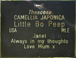 Camellia japonica 'Little Bo Peep'