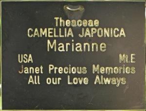 Camellia japonica 'Mariann'