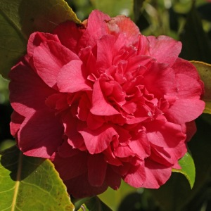 Camellia japonica 'Roman Soldier'