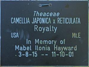 Camellia hybrid 'Royalty'