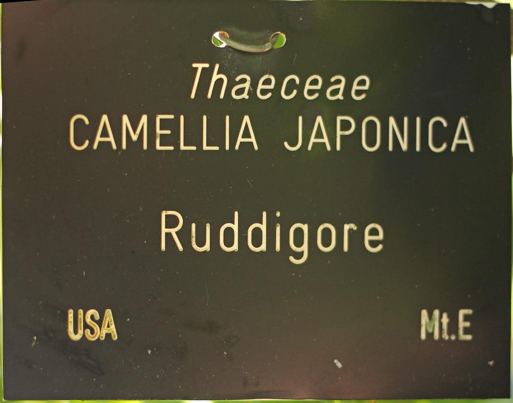 Camellia japonica 'Ruddigore'
