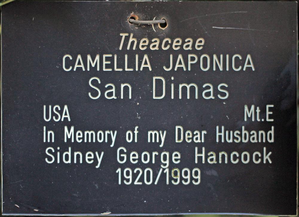 Camellia japonica 'San Dimas'