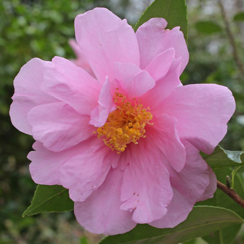 Camellia hybrid 'Show Girl'
