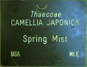 Camellia hybrid 'Spring Mist'
