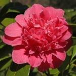 Camellia japonica 'Sultana'