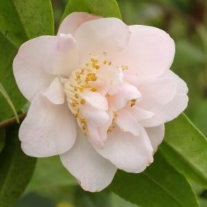 Camellia hybrid 'Tiny Princess'