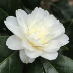 Camellia japonica 'Baby Sis'