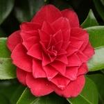 Camellia japonica 'Black Tie'