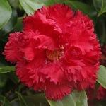 Camellia japonica 'Cinderella'