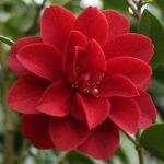 Camellia japonica 'Deep Secret'