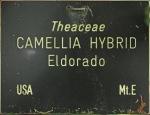 Camellia hybrid 'El Dorado'