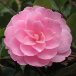Camellia x williamsii 'Garden Glory'