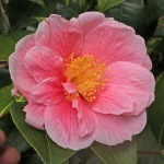 Camellia hybrid 'Ice Follies'