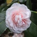 Camellia japonica 'Little Man'