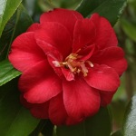 Camellia japonica 'Little Red Riding Hood'