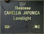 Camellia japonica 'Lovelight'