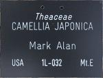 Camellia japonica 'Mark Alan'