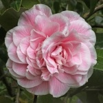 Camellia japonica 'Pink Diddy'