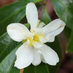 Camellia hybrid 'Polar Ice'