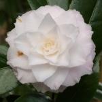 Camellia japonica 'Sawada's Dream' (1L-036)