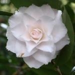 Camellia japonica 'Sawada's Dream'