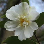 Camellia hybrid 'Snow Flurry'